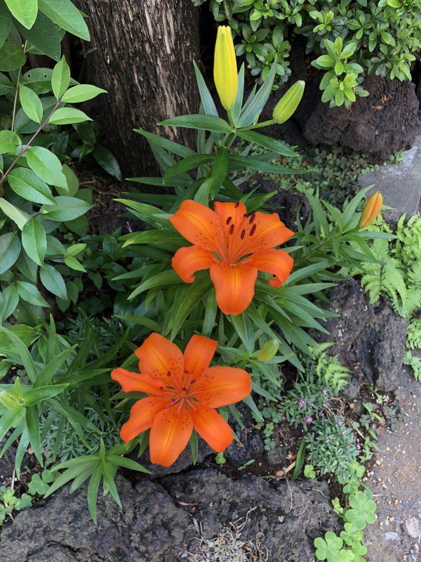 四季を飾る百合の花の写真