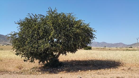 モロッコのサハラ砂漠に自生するアルガンツリー