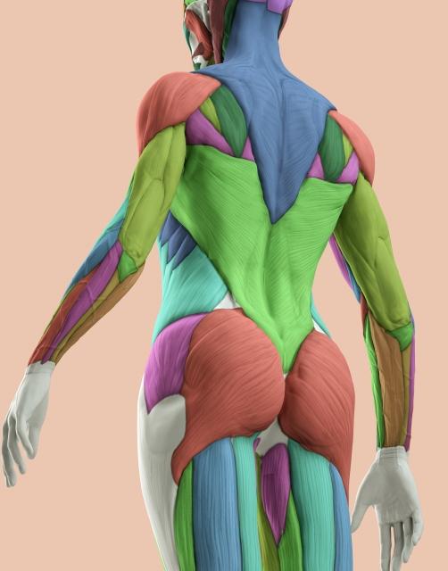 骨格筋のイメージ