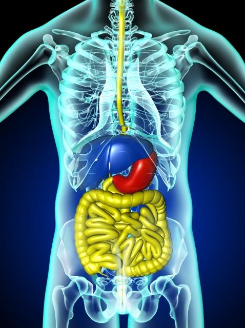 内臓諸器官のイメージ