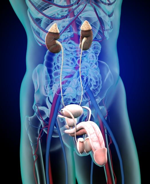 肝臓・腎臓のイメージ画像