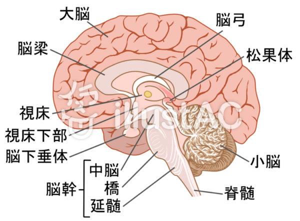 脳の解剖イメージ