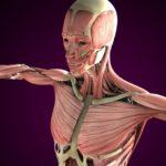 エステ解剖生理学~筋系Ⅰ