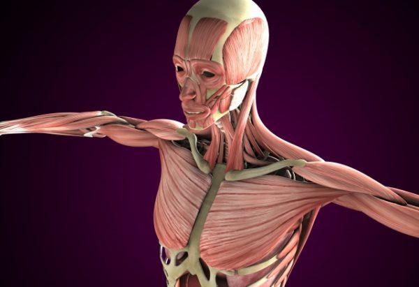 筋肉イメージ