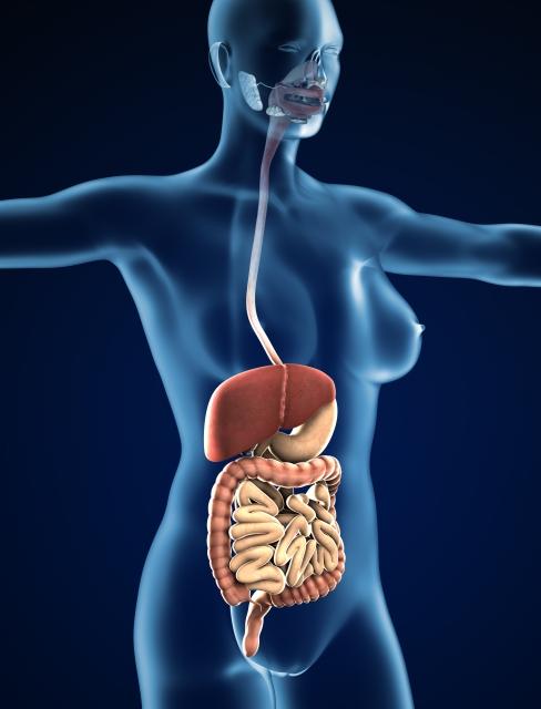 消化器系のイメージ